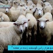 واردات 50 هزار رأس گوسفند زنده